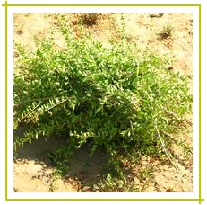 Natural Henna Powder Herbal Henna Powder Exporters Henna Powder
